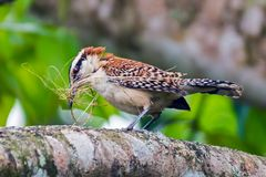修造它的巢-失去的安赫莱斯,哥斯达黎加的一只伟大的antshrike鸟 免版税库存图片