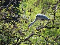 修造巢的苍鹭 免版税库存照片