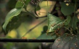 修造由织布工蚂蚁的巢在树 免版税库存照片