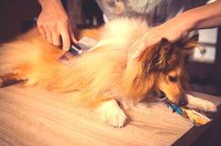 修饰与在设德蓝群岛牧羊犬的一把狗刷子 免版税库存照片