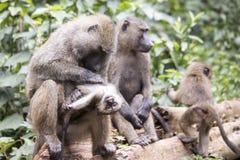 修饰在家庭的年轻橄榄或共同的狒狒 库存照片