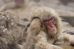 修饰在温泉的雪猴子 免版税图库摄影