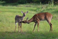 修饰她的小鹿的母鹿 免版税库存图片