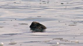 修饰的海獭在冰冷的水中