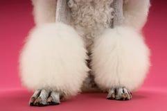 修饰的白色长卷毛狗的腿 免版税库存图片