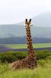 俯视休息的长颈鹿小山 库存照片