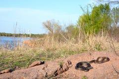 俯视湖的Coachwhip 免版税库存照片
