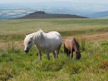 俯视贬小儿突岩和Widgery的野生小马横渡, Dartmoor 库存图片