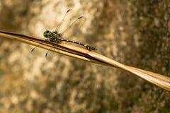 俱乐部在死的叶子的被盯梢的蜻蜓 免版税库存图片
