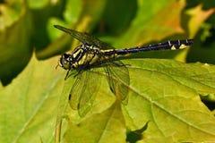 俱乐部被盯梢的蜻蜓,在特写镜头的Gomphus vulgatissimus 库存图片