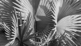 俾斯麦棕榈叶抽象灰色背景  免版税图库摄影