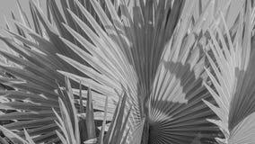 俾斯麦棕榈叶抽象灰色背景  库存图片