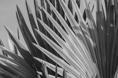 俾斯麦棕榈叶抽象灰色背景  图库摄影