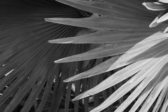 俾斯麦棕榈叶抽象灰色背景  免版税库存图片