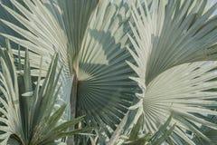 俾斯麦棕榈叶抽象背景  免版税库存图片