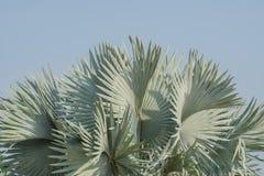 俾斯麦棕榈叶抽象背景  免版税图库摄影