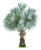 俾斯麦棕榈树 库存图片