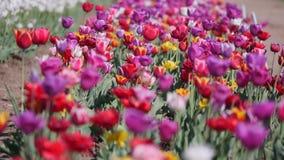 倍数色的郁金香在吹在风的庭院里 股票视频