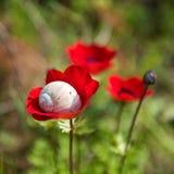 滑倒在银莲花属红色花的蜗牛 免版税库存照片