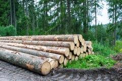 击倒的杉树树干在森林里 免版税图库摄影
