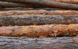 击倒的杉树 免版税库存图片
