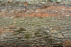 击倒的橡树树干 库存图片
