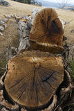 击倒的结构树 免版税库存照片