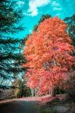 倒空安静的走道在美丽的橙树下在秋天 melbo 免版税库存图片