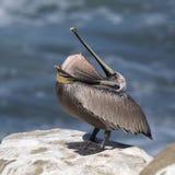 倒置它的囊的布朗鹈鹕作为它在岩石overlo栖息 免版税库存图片