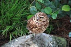 借用猫头鹰雅典娜cunicularia在它的栖所 免版税库存照片