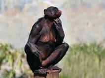 倭黑猩猩女性 库存图片