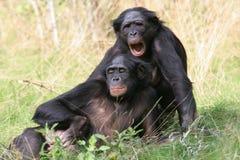 倭黑猩猩 免版税库存照片