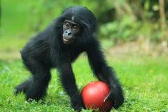 倭黑猩猩 免版税库存图片