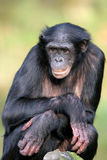 倭黑猩猩 库存图片