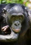 倭黑猩猩特写镜头画象在自然生态环境 背景绿色自然 倭黑猩猩平底锅paniscus 民主共和国  图库摄影
