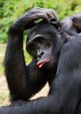 倭黑猩猩(平底锅paniscus)画象。 免版税图库摄影