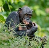 倭黑猩猩画象 库存图片