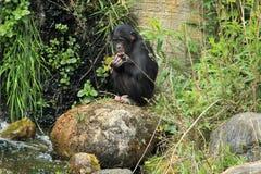 倭黑猩猩 库存照片