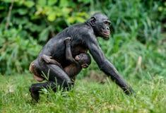 倭黑猩猩Cub和母亲 免版税库存照片