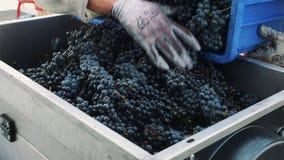 倾吐的成熟葡萄到研磨机里 股票录像
