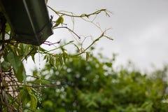 倾吐从在葡萄树上的天沟的雨水 库存照片