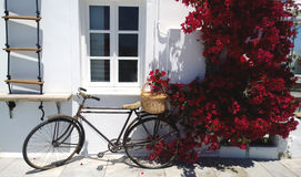 倾斜反对白色墙壁和伯根地开花的九重葛灌木的老自行车 库存图片
