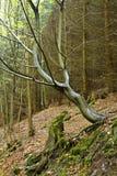 倾斜在一个湿山坡的树 免版税库存照片