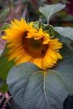 倾斜在叶子的大向日葵 库存图片