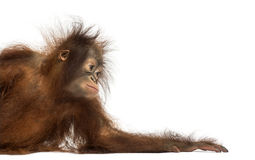 倾斜在它的胳膊的一只幼小Bornean猩猩的侧视图 库存照片