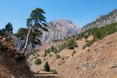 倾斜在岩石路的偏僻的杉树  库存图片