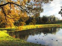 倾斜在有野鸭的一个池塘的橡木分支 图库摄影