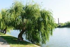 倾斜在水湖的大柳树 免版税图库摄影