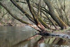 倾斜在河结构树 免版税库存图片