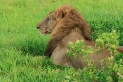 倾斜在路的伟大的野生非洲狮子 免版税库存照片